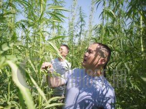 Канабис выращивание закон россии 2019